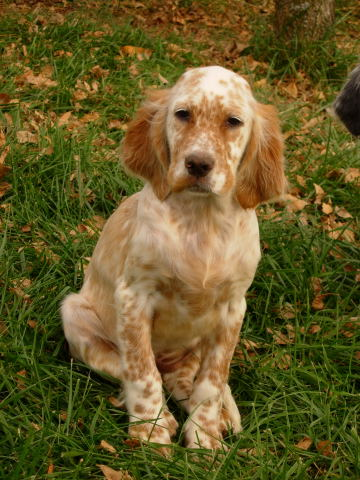 English Setter Breeders